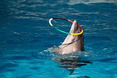 Dolphin with colored hoop Royalty Free Stock Photo