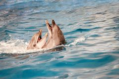 Dolphin couple in water Royalty Free Stock Images