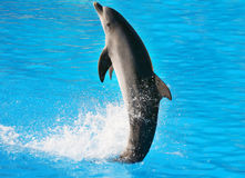 Dolphin Dance. A digital image of a dolphin dancing in the water stock images