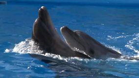 Dolphin Dance. Dancing dolphins in the Dolphinarium stock video