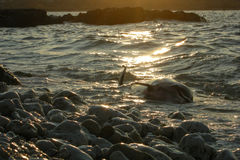 Dolphin dead sea ocean nature pollution kill mortal sunset Royalty Free Stock Images
