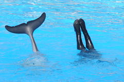 Dolphin With Diver. Nice shot of a dolphin swimming with a diver in summer Royalty Free Stock Images