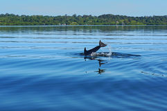 Dolphin diving into the water in Bocas del Toro Royalty Free Stock Photo