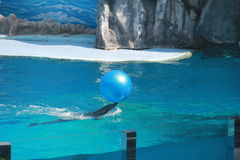 Dolphin doing trick with Ball. In water Stock Images