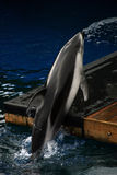 Dolphin doing tricks. A trained dolphin doing tricks at an aquarium Royalty Free Stock Images