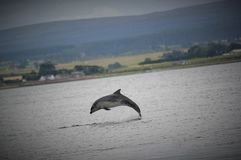 Dolphin. Of the moray firth Stock Photo