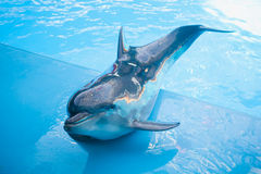 Dolphin in dolphinarium. Bottlenose dolphin in dolphinarium looking at you royalty free stock images