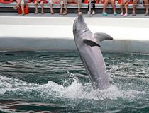 Dolphin in dolphinarium. Dancing dolphin in dolphinarium during performance royalty free stock photos