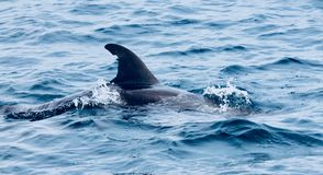 Dolphin. S swim by the diving boot in Indonesia royalty free stock photo