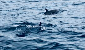 Dolphin. S swim by the diving boot in Indonesia stock images