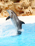 Dolphin Dsiplay #2. A single bottlenose dolphin performing a tail stand stock photo