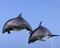 Dolphin Duo Royalty Free Stock Images