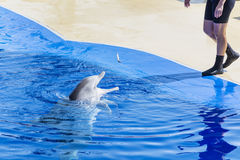 Dolphin eating fish. Dolphin show in water park Marineland ,Spain royalty free stock images