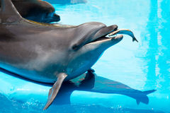 Dolphin eats fresh fish. Young, playful dolphin feeds on fresh fish stock image