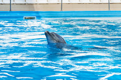Dolphin emerged from the water. Portrait of a beautiful gray dolphin, emerged from the water in the pool for performances Royalty Free Stock Photo