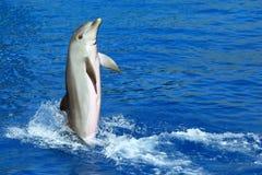 Dolphin exhibition in aquarium Stock Images