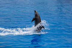 Dolphin. During An Exibition In Sea Life Center royalty free stock images