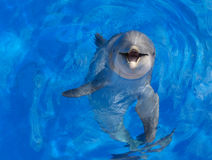 Dolphin face. Porpoise with a purpose?  (Pacific Bottlenose Dolphin Royalty Free Stock Image