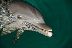 Dolphin face Stock Images