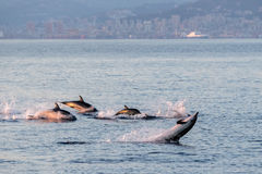 Dolphin family while jumping in the deep blue sea Stock Photos