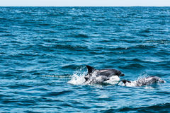 Dolphin family playing in the water Stock Photography