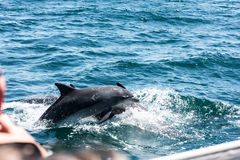 Dolphin family playing in the water. In South Africa while being watched from a boat royalty free stock photo