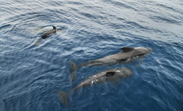 Dolphin family swimming in the Atlantic Ocean Stock Photography