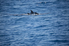 Dolphin family swimming together in the sea, dolphin watching Royalty Free Stock Photo