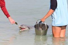Free Dolphin Feeding In Monkey Mia Shark Bay Western Australia Stock Image - 163138111