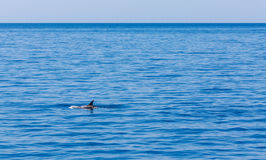 Dolphin fin above waves, Mediterranean sea Royalty Free Stock Photography