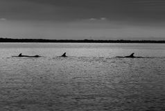 Dolphin fins Stock Photo