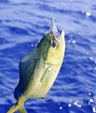 Dolphin Fish. Fish caught on popper, about a boat royalty free stock images