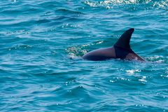 Free Dolphin Floating, Jumping And Diving In The Blue Sea Royalty Free Stock Photos - 140410208