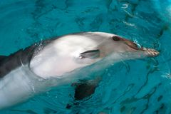 Dolphin floats in blue water. Horizontally. Dolphin stuck his head out of the turquoise water and showed a white belly Stock Photography