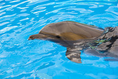 The dolphin floats in the pool Stock Photo