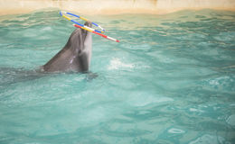 Dolphin floats and rotates the nose two rings Stock Photos