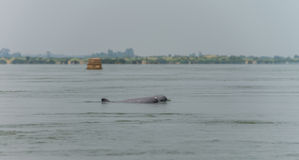 Dolphin Fresh water (Kratie Province) Cambodia Mar 2015. Dolphin Fresh water (Kratie Province) Cambodia Stock Image