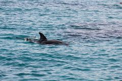 Dolphin frolicking in the blue sea in eilat in israel. Dolphin frolicking in the blue sea in israel stock image