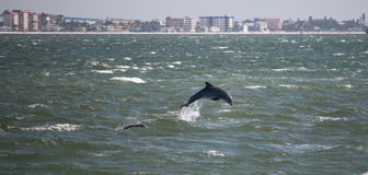 Dolphin in front of Sanibel Island Stock Photos