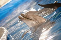 Dolphin fun. Close-up of happy dolphin playing in water Stock Image