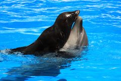 Dolphin and fur seal in a pool Royalty Free Stock Images