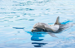 Dolphin in generic Dolphinarium Stock Photography