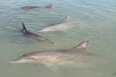 Dolphin group. Close shot of cute dolphin group in a shoal water. Australia Stock Images