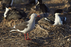 Dolphin Gull - Falkland Islands Stock Images