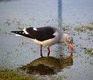 Dolphin Gull. Feeding in shallow water with reflection. Taken on Falkland Islands Royalty Free Stock Images