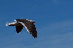 Dolphin Gull - Falkland Islands Royalty Free Stock Images