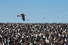 Dolphin Gull in Flight Royalty Free Stock Image