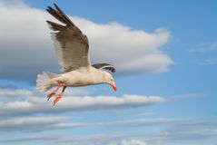 Dolphin Gull flying. Dolphin Gull (Leucophaeus scoresbii) flying against cloudy sky stock images