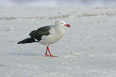 Dolphin gull, Larus scoresbii, Stock Photo