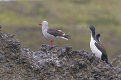 Dolphin Gull on a Remote Island Stock Photography